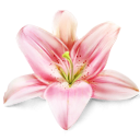 lily, Flower, plant MistyRose icon